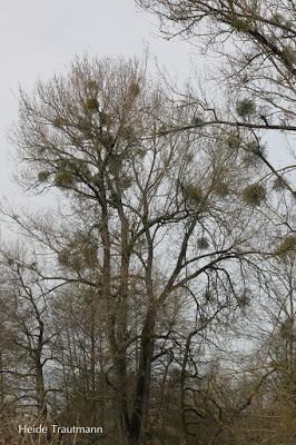 Misteln im Baum