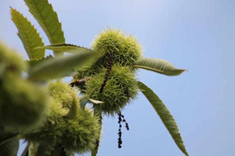 Rosskastanie – Aesculus hippocastanum